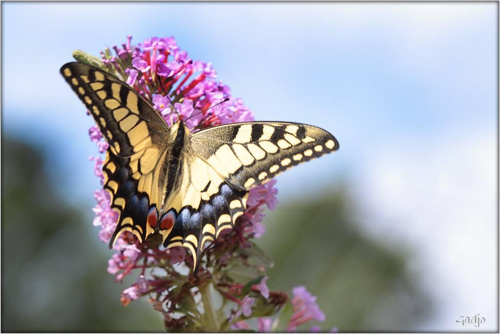 Papillons (10)
