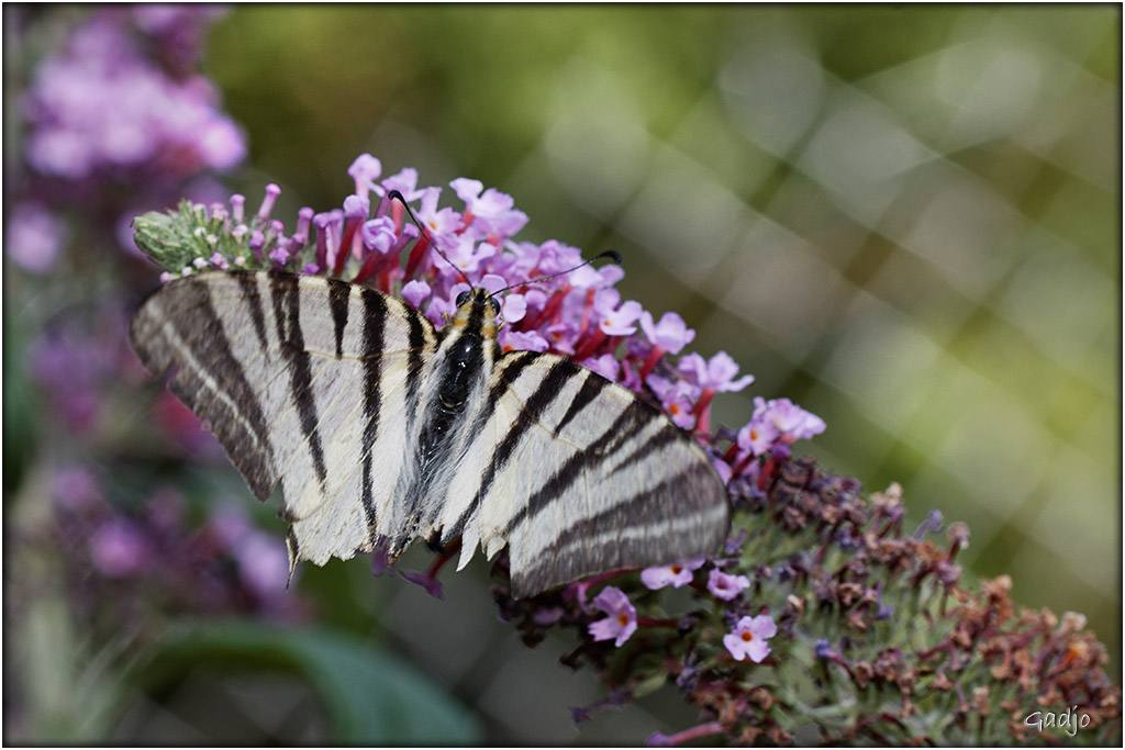 Papillons (5)