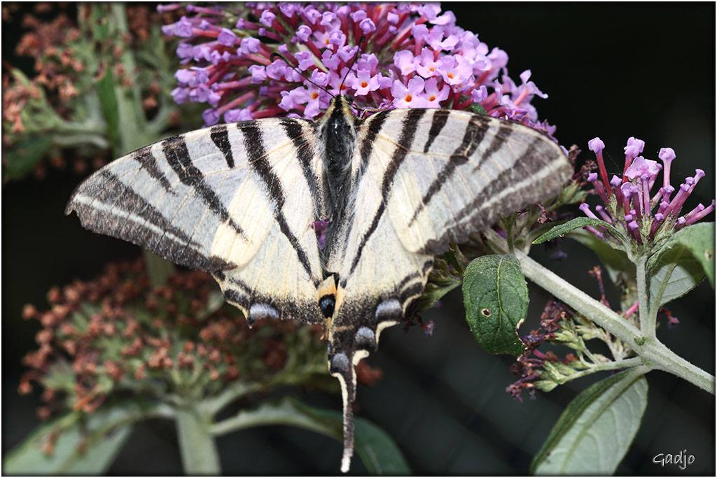 Papillons (6)