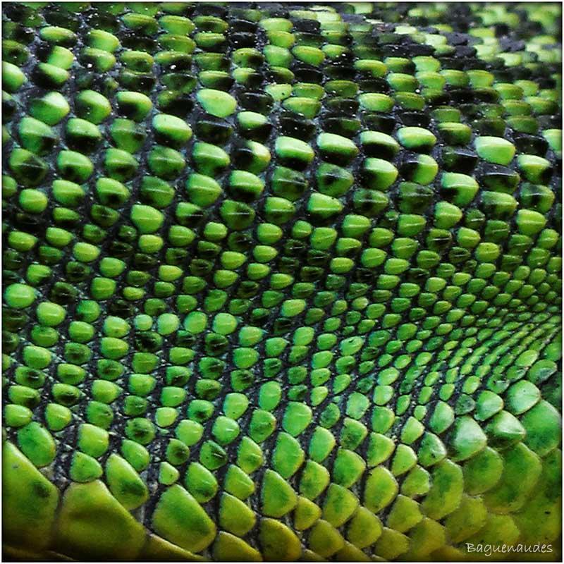 lezard vert (1)