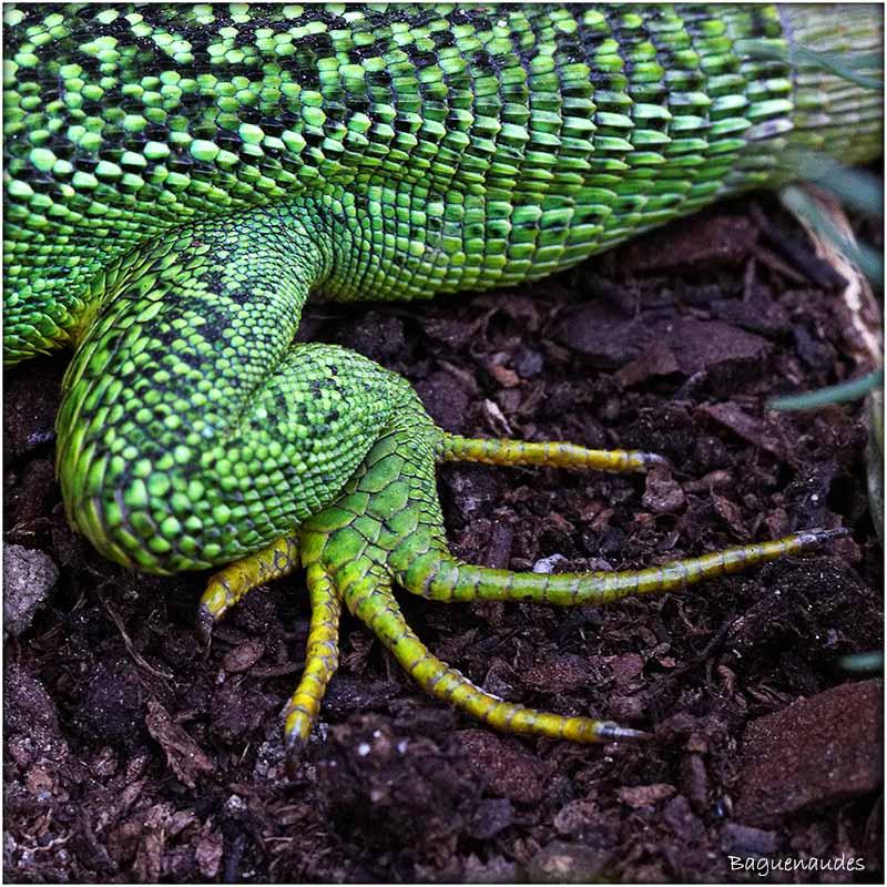 lezard vert (4)