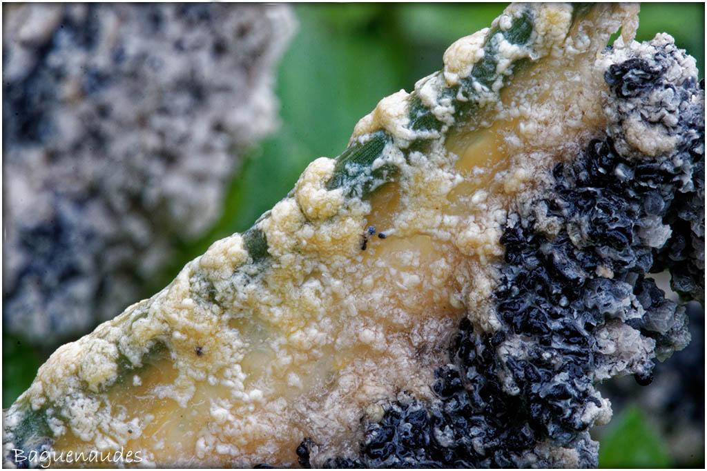 Myxomycètes